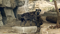 San Antonio Zoo now home to two new hyenas