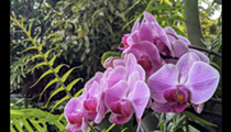 San Antonio Botanical Garden celebrates orchids in weekend-long event