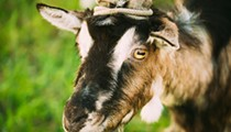 PETA Claims Medics at Fort Sam Houston Are Shooting, Stabbing Goats