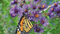 Monarch Butterfly and Pollinator Festival returns for in-person event this fall at Confluence Park