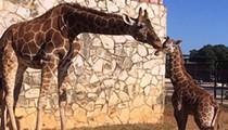 Say Hello to this Super Cute Baby Giraffe at Natural Bridge Wildlife Ranch