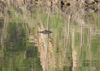 Yes, That's An Alligator In The River ... Will You Still Go Tubing?