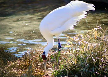San Antonio Zoo's whooping crane pair lays another egg