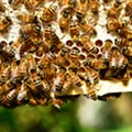 Environmental Group Delivers Petitions to Texas Legislature Demanding Ban on Bee-Killing Pesticide