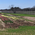 Some San Antonians Tweeting Their Disappointment About the Tulip Field That Just Opened