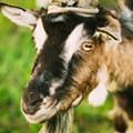 PETA Claims Medics at Fort Sam Houston Are Shooting, Stabbing Goats