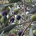 San Antonio area's first olive orchard will close its doors following founder's recent death
