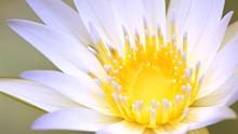 943998fa_white_lotus.jpg
