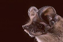 mexican-free-tailed-bat.jpg