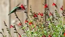 925b367c_hummingbirdautumn_sage.jpg