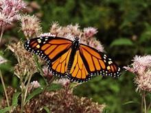 9f720115_monarch_butterfly.jpg