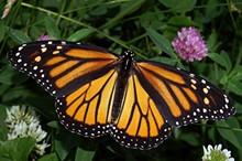 7f0a1b1d_monarch-1024x681.jpg