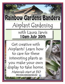 506ba3da_airplant_gardening_bandera.jpg