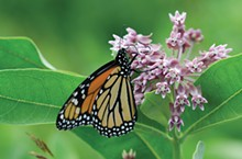 fa8a2ff5_monarch_on_milkweed_flower_530_pollinators.jpg