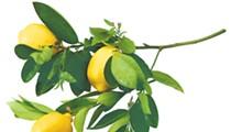 Urban Homesteader: Citrus farming in the backyard