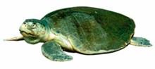 news-turtle_330jpg