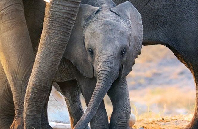 Ivory towers: Little baby Jomo in Elephant. - DISNEYNATURE