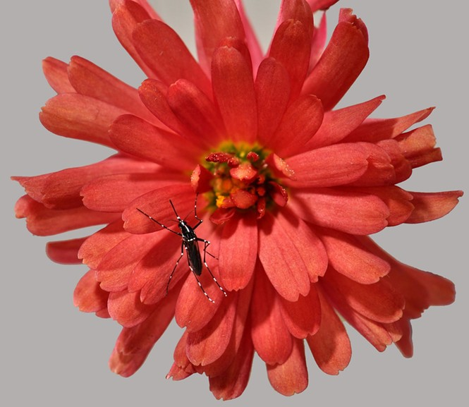 Aedes albopictus mosquito on flower - ARY FARAJI