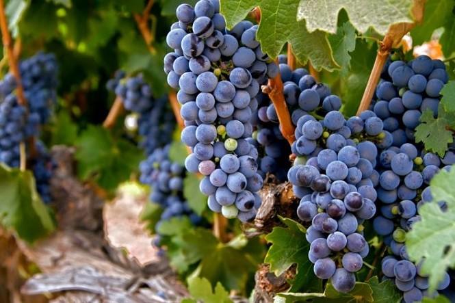 zin-grapes-703x468.jpg