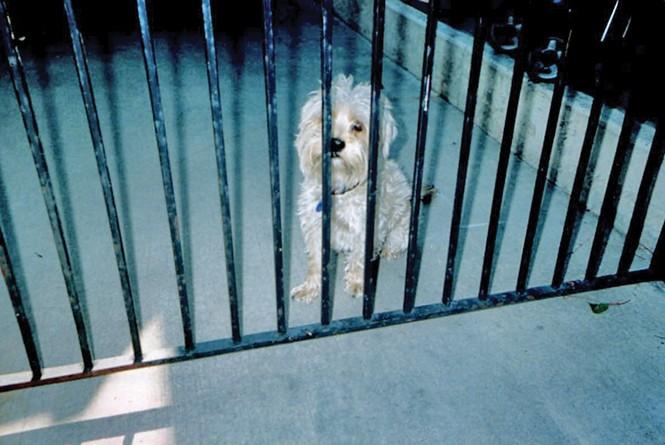 Gloria Saputo's dog, Suzy, a Shih Tzu/poodle mix. - COURTESY PHOTO