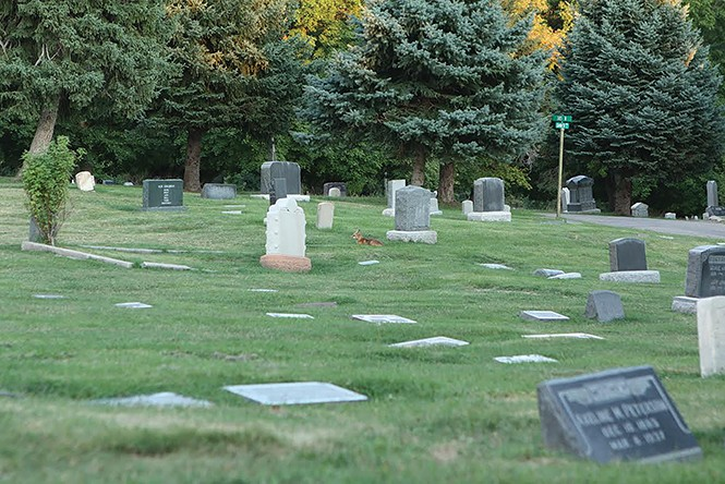 A red fox (Vulpes vulpes) rests peacefully among the gravestones at Salt Lake City Cemetery. - DW HARRIS