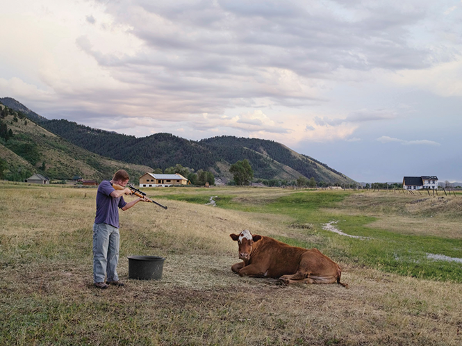 Adam, a Wyoming schoolteacher, helps the Mortensen family kill and butcher a Hereford cow. The Mortensens own the last remaining ranch within Afton town limits. Their neighbors sold and developed the surrounding property during the housing boom of the past decade. - LUCAS FOGLIA