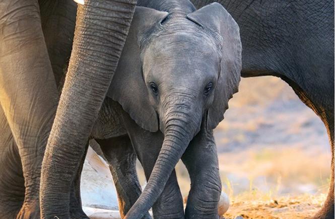 Ivory towers: Little baby Jomo in Elephant. - DISNEYNATURE