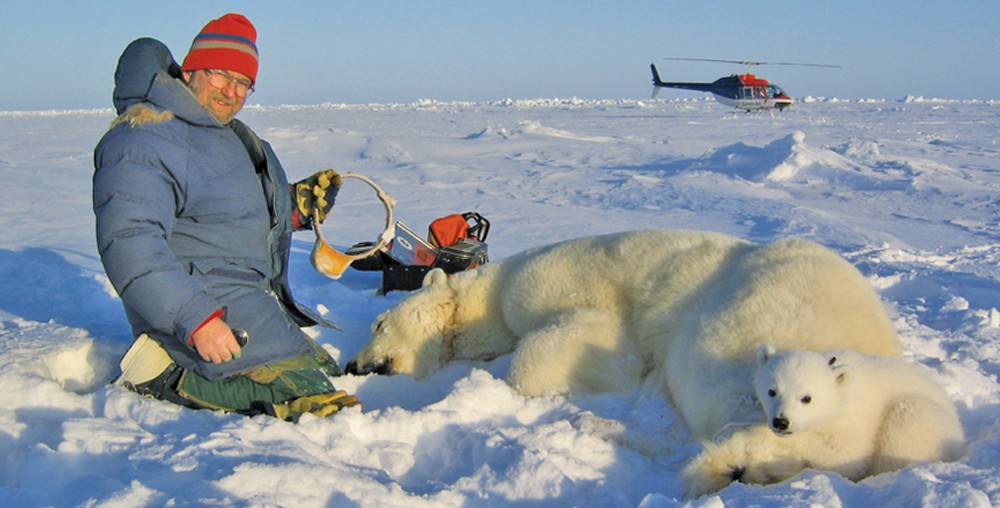 Ian Stirling, co-author of 32 papers in the 92-paper database, removing satellite radio from female with cub. - COURTESY POLAR BEARS INTERNATIONAL