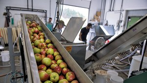 Apples being fed into a grinder prior to pressing at Happy Valley Orchard