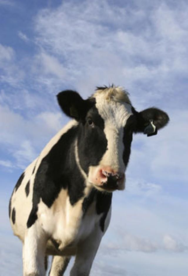 local-cow.jpg