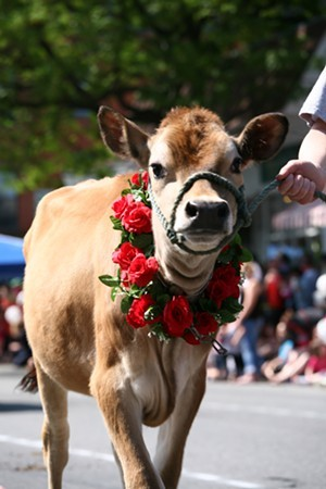 Brattleboro's annual Strolling of the Heifers comes in at #19. - COURTESY OF JESSE BAKER