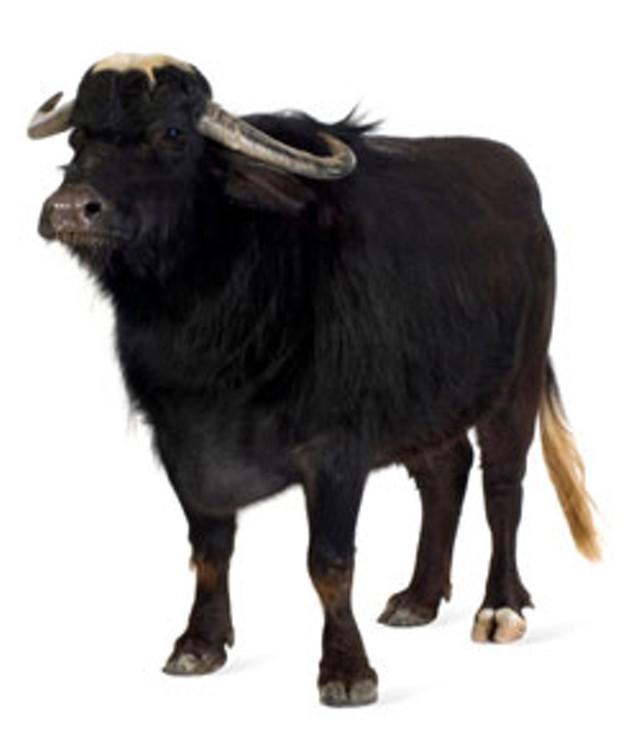 foodnews-buffalo.jpg