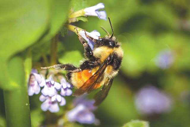 Citizen naturalists can team up with biologists to document bumblebees, among other wildlife - K.P. MCFARLAND