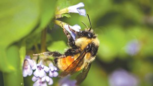Citizen naturalists can team up with biologists to document bumblebees, among other wildlife