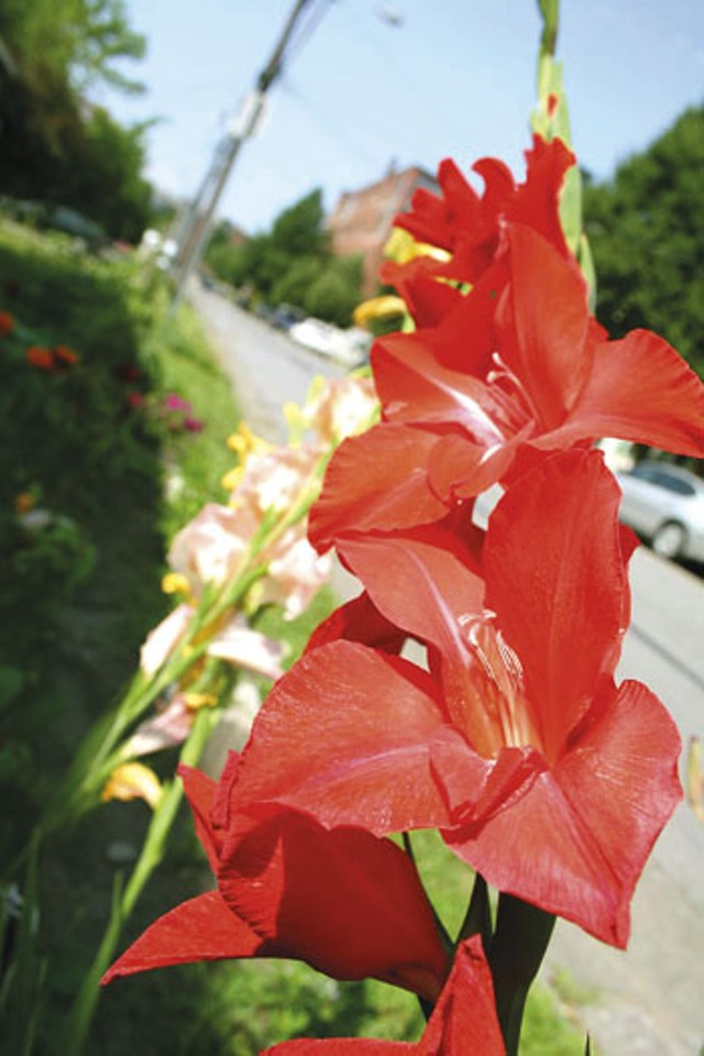 Dave Roberts' garden on South Champlain Street - MYESHA GOSSELIN