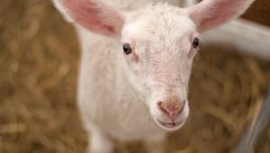 Farm Share: Lambing Season at Bonnieview Farm