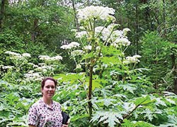 Big, Beautiful and Blister Inducing, Giant Hogweed Shows Its True Colors Around Vermont