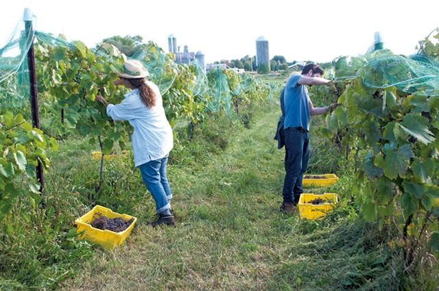 Harvesting grapes in Vergennes