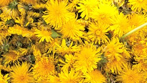 How to Make Dandelion Wine — and Eat the Greens