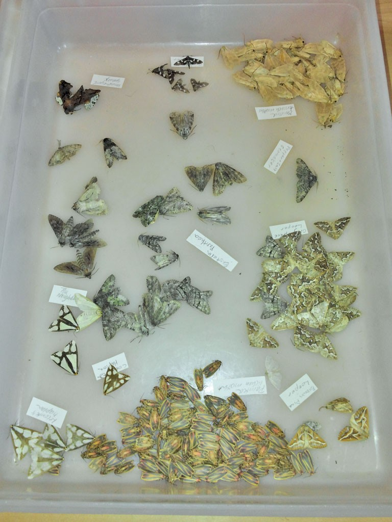 Moth species turned up during BioBlitz - ETHAN DE SEIFE