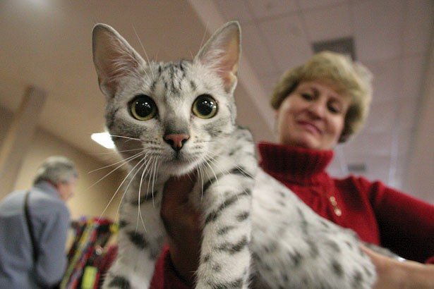 Photo: Anya, a 7-month-old silver Egyptian Mau kitten owned by Carol Babel, Ra's Abi Cattery - MYESHA GOSSELIN