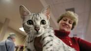 Scene@ Vermont Fancy Felines Cat Show