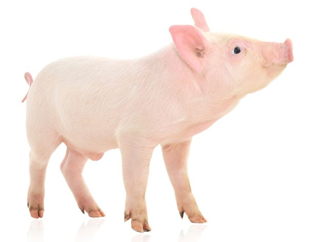 foodnews-piglet.jpg