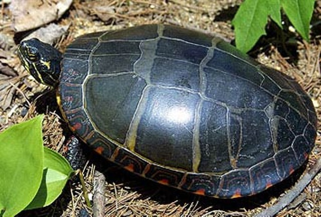 painted-turtle-1_young.jpg