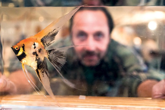 Richard Maxwell of Burlington looks through a tank at an orange koi angelfish.