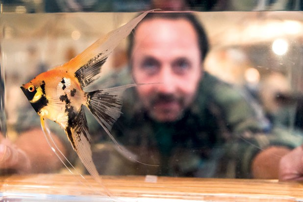 Richard Maxwell of Burlington looks through a tank at an orange koi angelfish.