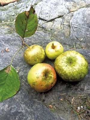 Specimens from Shacksbury's Lost Apple Project - COURTESY OF SHACKSBURY CIDER