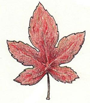 food-maple-leaf.jpg