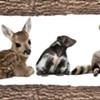 Vermont Officials Warn: That Cute Raccoon Is Not a Pet