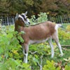 A Rash of Goat Thefts Has Vermont Farmers Scratching Their Heads